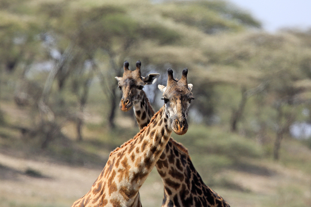 Two Giraffes in East African habitat