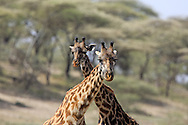 Two Giraffes in East African habitat