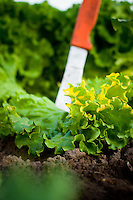 Organic lettuce being picked in St Paul, Oregon near Portland