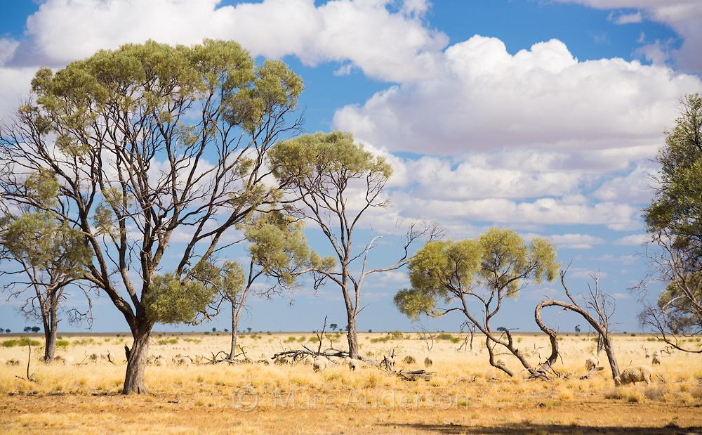 Acacia trees in outback Queensland, Australia