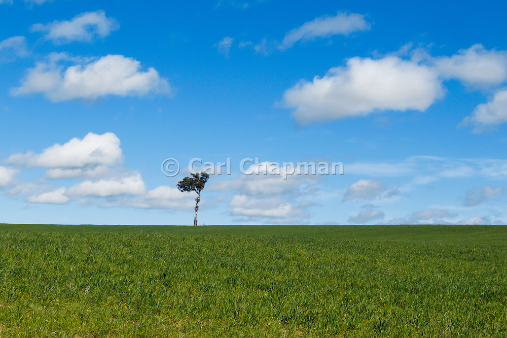 Single tree at top of pasture field under blue sky with cumulus clouds near Yass, New South Wales, Australia.