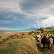 Three cows (Bos taurus) come in to investigate whilst taking long exposures of the ruggedly beautiful Kaikoura Coastline, with a moody sky, and tussocks blowing in the wind. Kaikoura Coast, Canterbury, New Zealand. September.