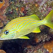 French Grunt inhabit reefs in Tropical West Atlantic; picture taken Key Largo, FL.