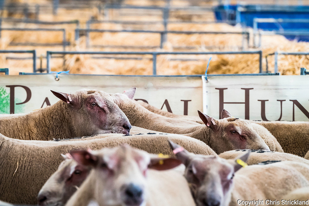 Springwood Park, Kelso, Scottish Borders, UK. 8th September 2017. 5411 rams were sold for over a total of £3,000,000. One Texel fetched £23,000.