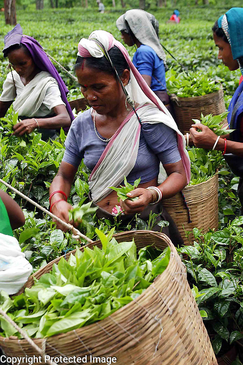 Women Tea Graden labourer are plucking tea at a tea-garden of Eastern Indian State, Assam. Pix-Shib Shankar Chatterjee