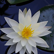 Water lillies on pond. Malibu, CA. United States.