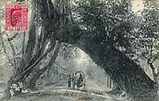 Old Postcard. Banyan tree arch on Galle Road near Kalutara.
