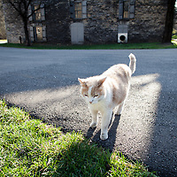 Woodford Reserve Distillery, the distillery cat