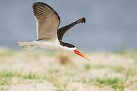 African Skimmer in flight, Chobe River, Kasane, Botswana.