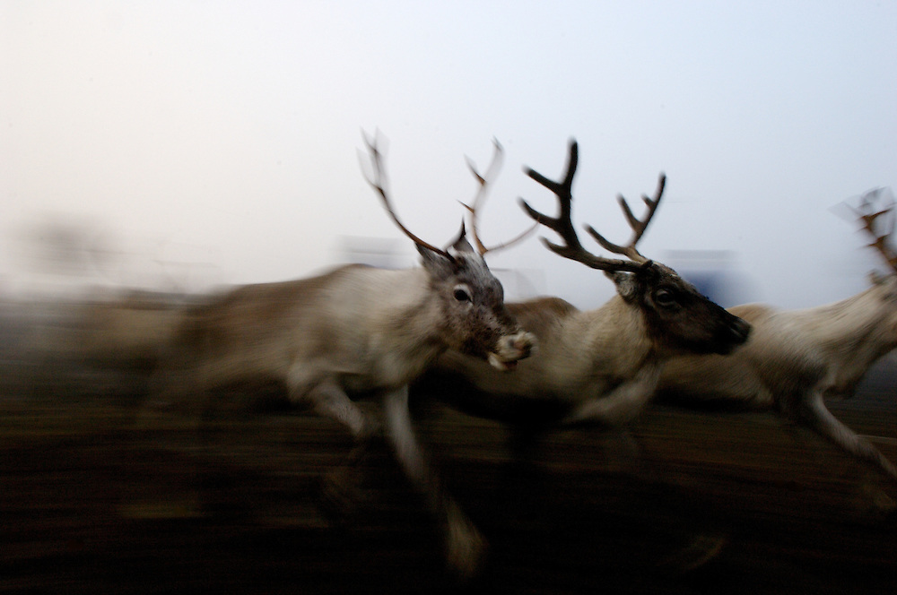 Hirvas Salmi, FINLAND. October 15, 2007- A trio of reindeer sprint through the morning mist. On the second day of the roundups Sami herdsmen lasso their calves and corral them for slaughter on the following morning...