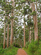 Growing up to 90 meters, Karri trees stand amongst the tallest species in the world. Porongurup National Park protects the Porongurup Range, an ancient and mostly leveled mountain range formed in the Precambrian over 1200 million years ago. Visit the park in Western Australia, 360 km southeast of Perth and 40 km from Albany. High rainfall on this ecological island explains the survival of Karri (Eucalyptus diversicolor) forests and ten endemic species of plant. The Porongurup Range is a remnant of the Precambrian collision that joined Australia and Antarctica until they separated in the Paleocene. For much of the Cretaceous and Paleogene, the Porongurup Range was an island surrounded by the sea, with the Stirling Range forming the southern coastline. The formerly large mountain range has been eroded down to granite intrusions leveled into domes, no more than 15 km from east to west. The highest point in the Porongurup Range is Devils Slide at 670 meters elevation, rising 400 m above the surrounding plain.