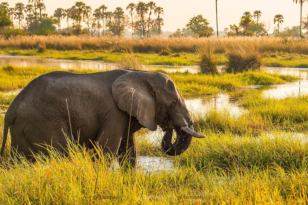 African Elephant bull in the Okavango Delta, Botswana.