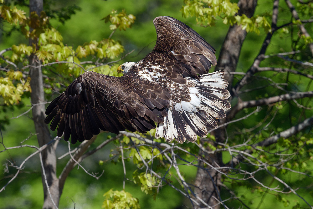 Bald eagle, Mount Desert Island, Maine