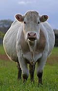 17/03/05 - VINZELLES - PUY DE DOME - FRANCE - Elevage bovin allaitant. Vache Charolaise - Photo Jerome CHABANNE