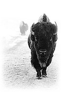 The Historic Frawley Ranch manages a small bison herd outside Spearfish, South Dakota.  This very pregnant cow buffalo from that herd was photographed on a foggy, cold morning in May.