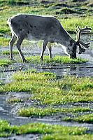 Svalbard reindeer / Rangifer tarandus platyrhynchus<br /> Alkehornet<br /> Svalbard<br /> Norway