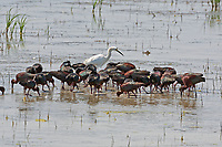 A group of White Faced Ibis use their feet as a group to stir up the bottom this releases the insects from the mud.