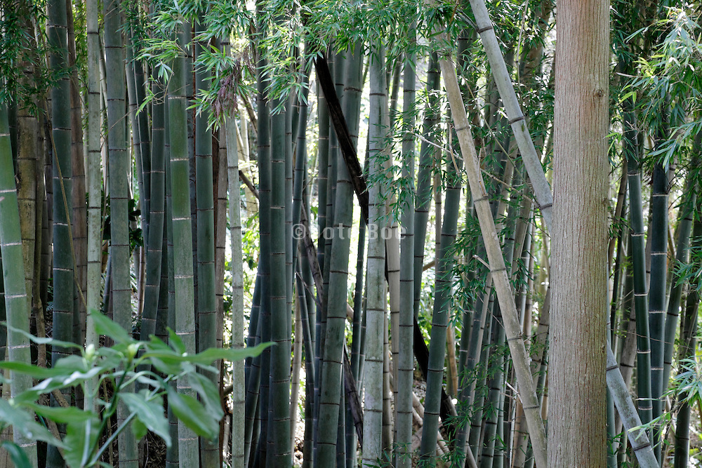 bamboo grove with young twig Japan