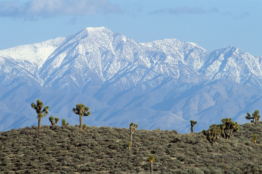 Joshua Trees and Panamint Mountains, Lee Flat, Death Valley National Park, California