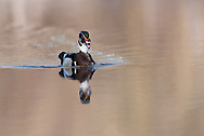 Wood Ducks Oneida Lake