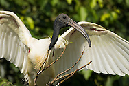 A black-headed ibis spreads its wings, Ranganathittu Bird Sanctuary, India