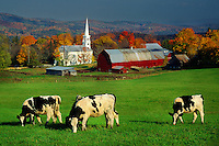 Cows in pasture, Peacham, Vermont USA