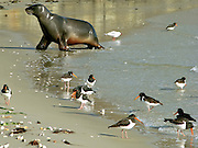 Hooker's Sea Lion and Pied Oystercatchers, Otago Peninsula