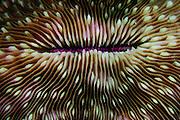Mushroom coral (Fungia sp. ) Raja Ampat, West Papua, Indonesia, Pacific Ocean | Pilzkoralle (Fungia sp. ) Raja Ampat, West Papua, Indonesien, Pazifischer Ozean