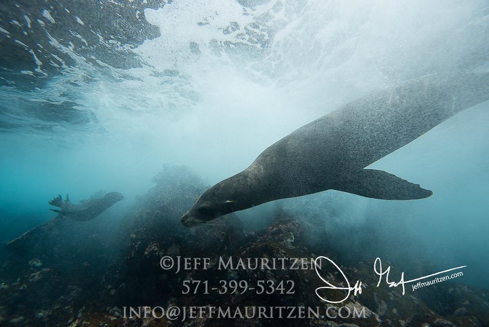 Galapagos sea lions swim underwater near Champion islet, part of the Galapagos islands of Ecuador.