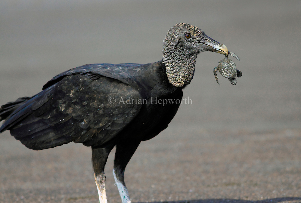 Black Vulture (Coragyps atratus) feeding on baby Olive Ridley Turtle..Ostional Wildlife Refuge, Guanacaste, Costa Rica.<br />