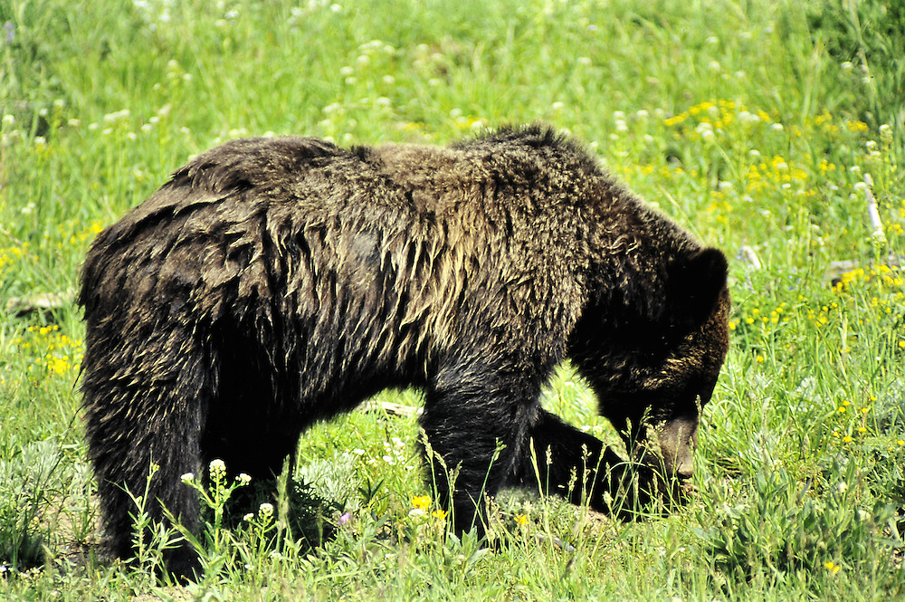 Foraging in a meadow. Yellowstone National Park, Wyoming