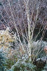The bark of Betula utilis jacquemontii at Ashwood Nurseries. Silver birch