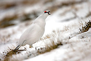 Ptarmigan Lagopus mutus Male bird in winter plumage L 34-36cm. Hardy, mountain gamebird. Indifferent to observers but easily overlooked: unobtrusive and blends in well with surroundings. In flight, both sexes reveal white wings and black tail. Forms small flocks outside breeding season. Sexes are separable with care. Adult male in winter is white except for dark eye, lores and bill. In spring and summer, has mottled and marbled greyish buff upperparts, amount of white on back decreasing with time; belly and legs are white while striking red wattle fades by mid-summer. Adult female in winter is white except for black eye and bill. In spring and summer, has finely barred buffish grey upperparts; extent of white on back diminishes with time. Juvenile resembles uniformly brown female. Voice Utters a rattling kur-kurrrr call. Status Confined to Scottish Highlands, favouring rocky ground with lichens, mosses and other mountain vegetation.