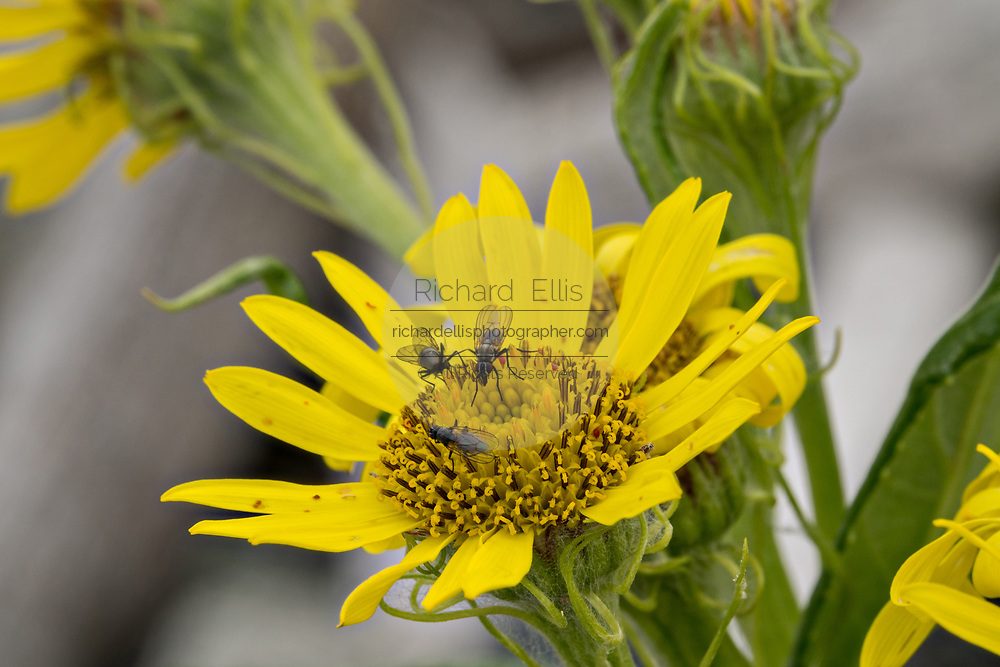 Beach Sunflowers blooming with flower flies at the McNeil River State Game Sanctuary on the Cook Inlet, Alaska. The remote site is accessed only with a special permit and is the world's largest seasonal population of brown bears in their natural environment.
