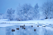 Mallard duck in winter scene