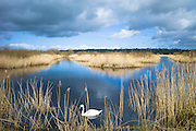 Mute Swan, Cygnus olor, among reeds in reedbed and marshes in The Somerset Levels Nature Reserve, England, UK