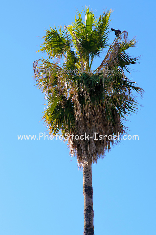 Mature California Fan Palm (Washingtonia filifera) with blue sky background. Photographed in Jaffa Israel