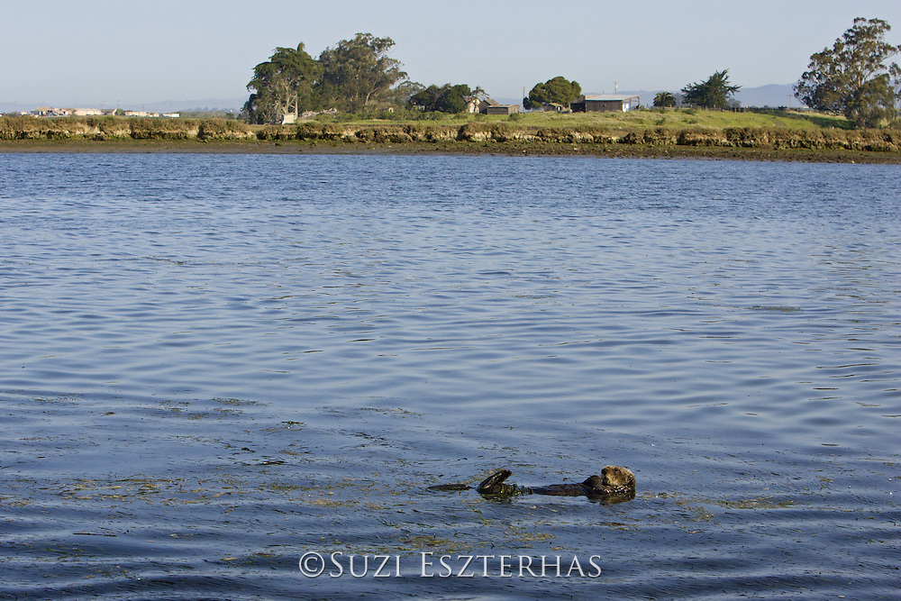 Southern sea otter<br /> Enhydra lutris<br /> Elkhorn Slough, CA