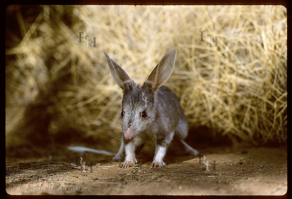 Rabbit-eared bandicoot, or bilby, inches forward amid spinifex in pen; Conserv Commssn of NT/Alice Australia
