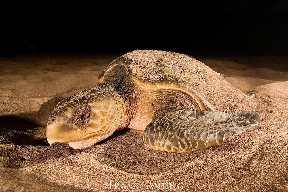Olive Ridley sea turtle on beach, Lepidochelys olivacea, Adah Foah, Ghana
