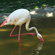 A closeup of a Flamingo, Phoenicopteridae, feeding in a pond. Cape May County Zoo, Cape May Courthouse, New Jersey, USA.