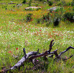 The very rural  Willow City Loop, near both Johnson City and Fredericksburg in the Hill country of central Texas, fills with a variety of wildflowers in spring. Here Blanket Flowers (Gaillardia aristata) mix with white daisies and yellow Brown-eyed Susans (Rudbeckia hirta, var. augustifolia) to turn a meadow into a rainbow.