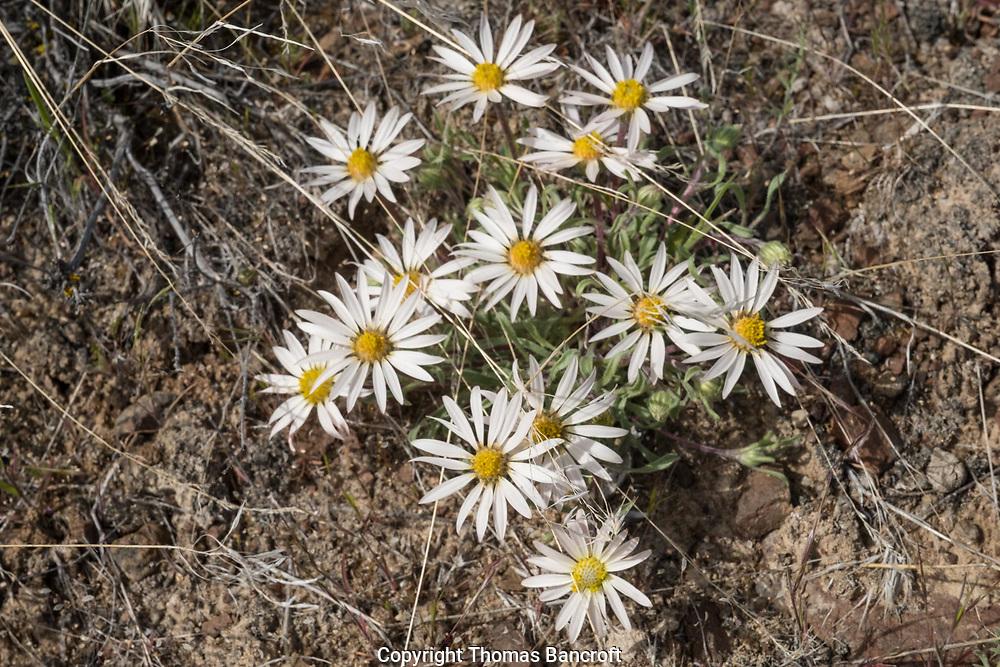 Townsendia florifer