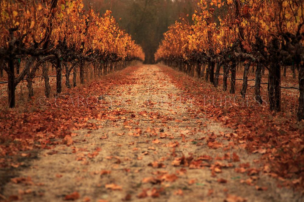 early November morning in a Napa Valley vineyard. Saint Helena, California.