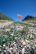 poppy seed flower growing in the middle of a dirt road
