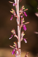 Close-up of the delicate flowers of the western coralroot orchid, a very common late-spring and early-summer terrestrial orchid found in many of the damp coniferous forests of the Pacific Northwest.