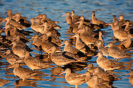 Marbled godwits stand close together in shallow water