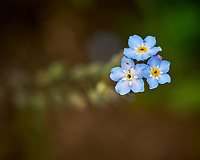 Forget-me-not. Image taken with a Nikon D850 camera and 60 mm f/2.8 macro lens