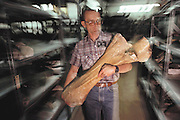 Bone of a mammoth. Paleontologist George Corner carries the fossil elbow (ulna) bone of a mammoth, Mammuthus columbi. Racks of mammoth jawbones and teeth can be seen in this room at the University of Nebraska State Museum, USA. Mammuthus columbi (Columbian mammoth) was an elephant-like mammal, which roamed temperate parts of North America more than 10,000 years ago, when it became extinct. This species stood 4 meters high, and was an important later relative of the woolly mammoth of Europe and Siberia. The bone was discovered in northwest Nebraska between mammoth fossil jaws. This State Museum houses the largest mounted Mammuthus columbi skeleton in the world. MODEL RELEASED 1992.