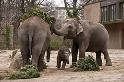 Berlin Zoo. Like each Year unsold Christmas trees are a welcome variety on the Dining plan for the Asian Elephants in Berlin Zoo, Berlin, Germany, January 4, 2013. Photo by Imago / i-Images...UK ONLY